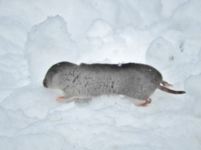 Winter Shrew, Brattleboro VT