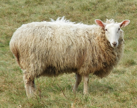 Last Sheep Standing