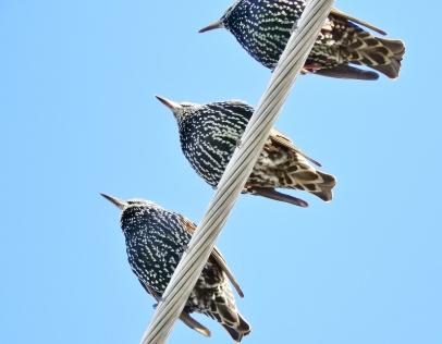 Starlings, Brattleboro VT