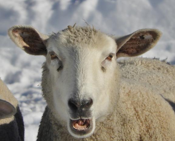 Ewe Don't Say!