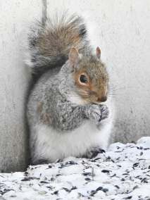 Eastern Grey Squirrel in Greenfield, MA January 2018