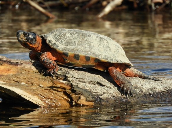 Wood turtle sunning himself/herself at the meadows in Brattleboro. May 2018