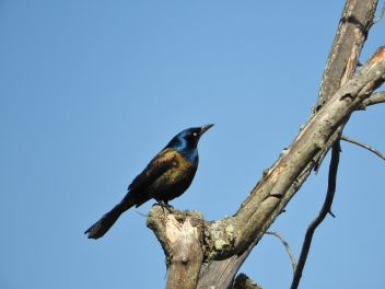 Grackle, Brattleboro, VT