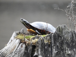 Painted Turtle, Guilford VT