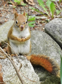 Red Squirrel May 2018 front yard