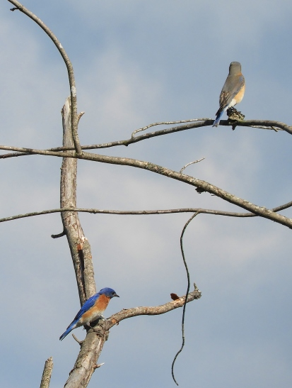 Bluebird male and female spring 2018