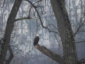 Adult bald eagle on the West River. Brattleboro, VT winter 2018