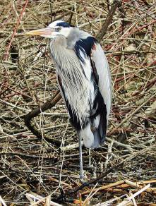 Great Blue Heron, Hinsdale NH