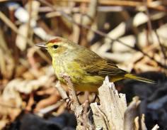 Palm Warbler, Hinsdale NH