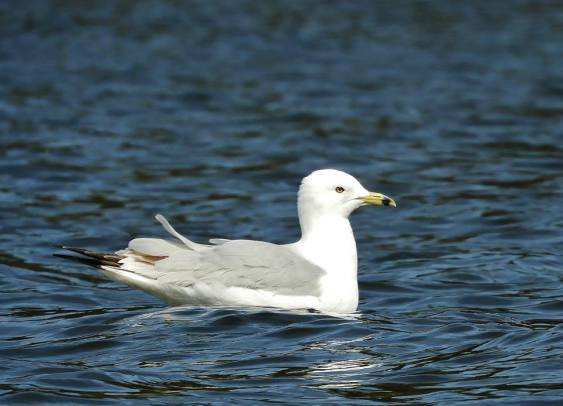 Ring Billed Gull, Brattleboro VT