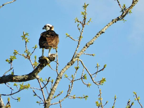 Osprey with fish under foot. Retreat Meadows, Brattleboro, VT - spring 2018