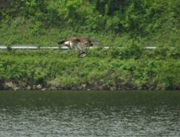 Osprey in the middle of catching lunch. Brattleboro, 2018