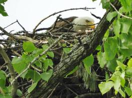 Adult bald eagle dining on his/her lunch in the nest. Hinsdale, NH 2018