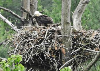 Adult bald eagle with her eaglets in the nest. And a big nest at that! Townshend, VT spring 2018