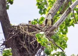 Ospreys in a nest they took over from Bald Eagles. June 2018, Hinsdale, NH