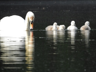 Mute Swan and cygnets, Gill MA