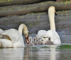 Mute Swan and Family, Gill MA