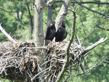 Two bald eaglets from the nest on the West River Trail in Townshend, Vermont. May 2018