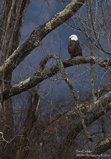 Adult Bald Eagle Hinsdale, NH 2019