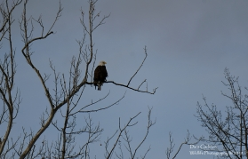 Bald Eagle in Westmoreland, NH January 2019. Believed to be banded eagle A over P and/or his mate. Summer of 2019 will be time to try to view their new nest.