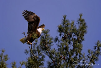 Adult male bald eagle. Walpole, NH January 2019