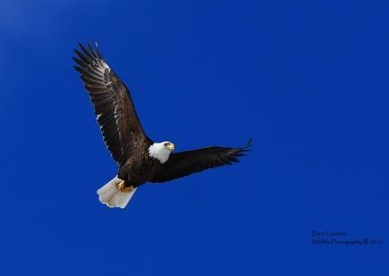 Adult bald eagle soaring the skies of Walpole, NH January 2019