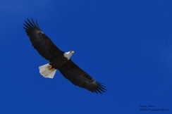 Walpole, NH January 2019 - adult bald eagle