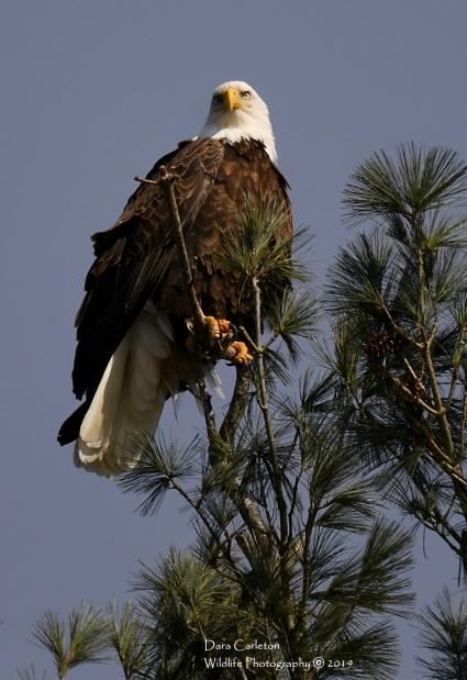 Walpole, NH January 2019 - adult bald eagle