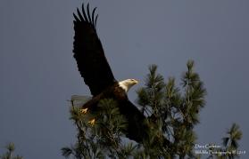Adult bald eagle. Walpole, NH 2019