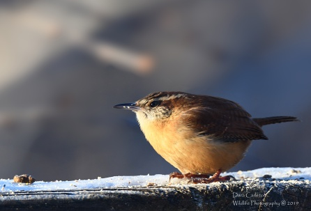 Carolina Wren, Brookline VT