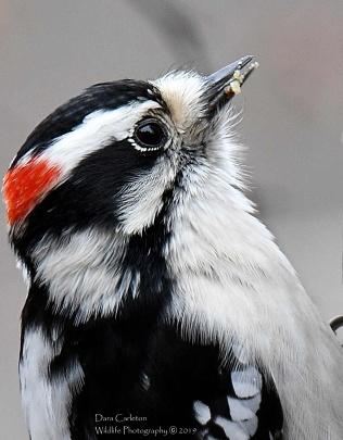 Male Downy Woodpecker,Brookline, VT 2019
