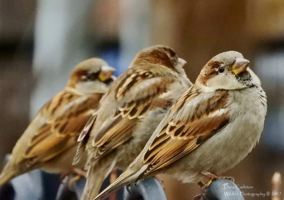 House Sparrows, Brattleboro VT