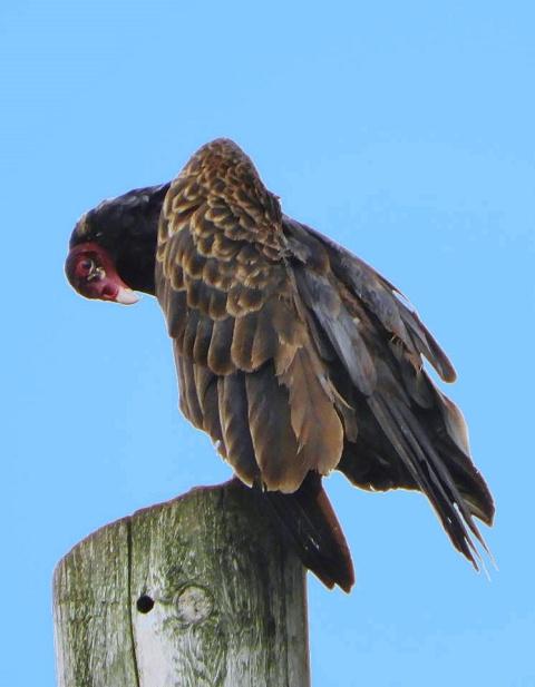 Turkey Vulture. Brattleboro 2017