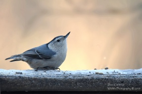 White-breasted Nuthatch Brookline, VT 2019