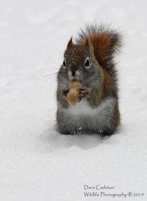 Red squirrel with peanut. Brookline, VT 2019