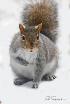 Gray squirrel. Brookline, VT 2019