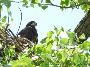 This is the 2018 eaglet from Black 9 over K and Orange B over O at several weeks of age. Bald eagles slowly obtain white head and tail feathers during the first 5 years of age. At age 5 they are considered mature adults.