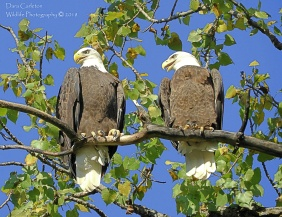 Taken in 2018 in Brattleboro, VT. Fun facts: You may notice tongues sticking out. Bald eagles pant in warm weather just like dogs. Female raptors are normally larger than their male counterparts. The male in this case, is on the left.