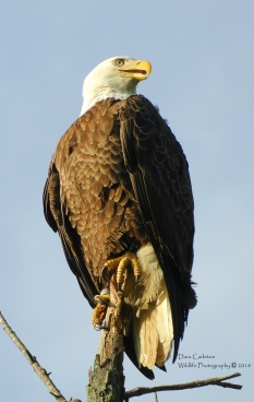 Banded Bald Eagle on branch