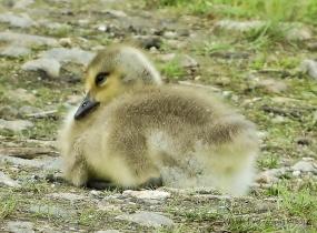 Juvenile Canadian Goose, Gill MA