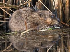Beaver. Retreat Meadows, Brattleboro, VT 2018