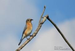 Eastern Bluebird Brattleboro, VT 2018