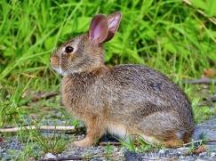 New England Cotton tail rabbit. Riverside Drive, Brattleboro, VT 2018