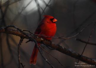 Male cardinal Brookline VT winter 2019