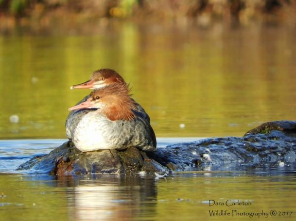 Common Mergansers, Brattleboro VT