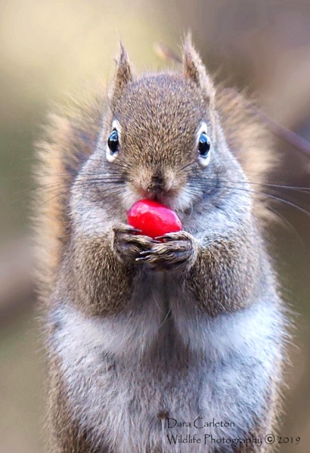 Red squirrel with cranberry. Brookline VT 2019
