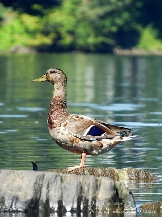 Female Mallard Duck, Brattleboro VT