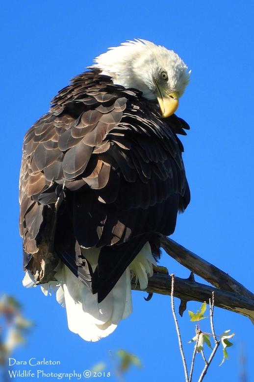 Adult male Bald Eagle Retreat Meadows, Brattleboro, VT 2018
