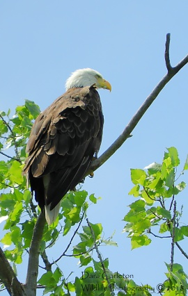 One of a pair of bald eagles that nest in Hinsdale, NH. This is female bald eagle black band 9 over K. She was raised in a nest at Barkhampsted Reservoir in Litchfield, CT and hatched in 2007. Her mate is Orange band B over O.