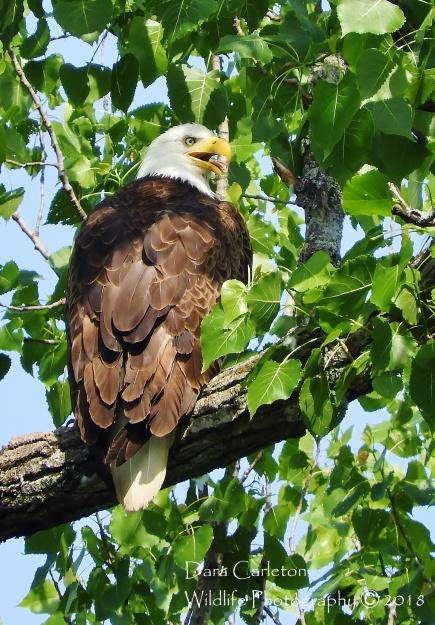 Panting Eagle